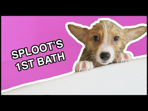 Corgi Puppy's First Bath! | Vlog