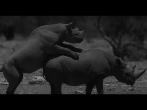 Rhino Love Caught On Camera | Africa | BBC Earth