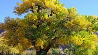 What is a Cottonwood Tree