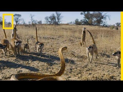 L'affrontement entre un bébé suricate et un cobra du Cap déclenche un assaut