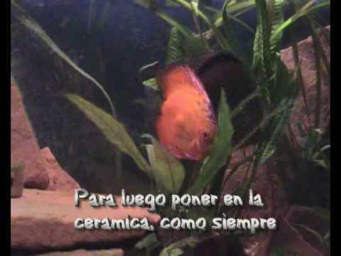 Peces discos reproducci n en acuario youtube for Reproduccion en peces