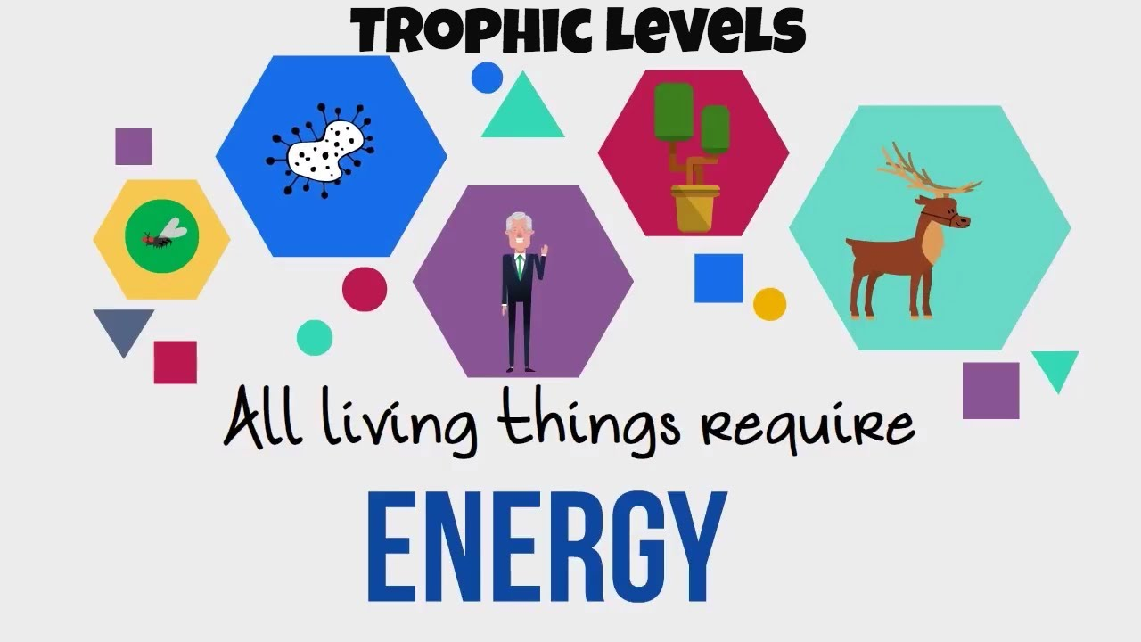 trophic levels energy flow in ecosystems youtube