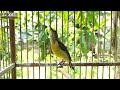 Pancing Bunyi Kolibri Ninja Konin Ijo  Mp3 - Mp4 Download