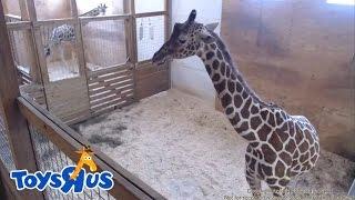 Repeat youtube video Animal Adventure Park Giraffe Cam