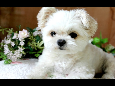 Funny Puppies And Cute Puppy Videos 🐾 🐶 Compilation 2017 [BEST OF] #petcarol #torodepalpite
