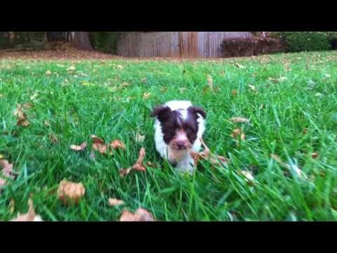 Miniature Schnauzer Puppies For Sale In Raleigh NC