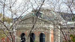 京都国立博物館の桜 Cherry blossoms in Kyoto National Museum 2016 04