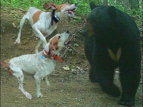 BEAR HUNTING WITH HOUNDS - NICE BEAR TREED