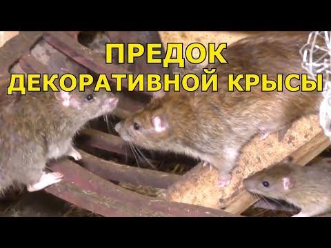 Предок декоративной крысы Серая крыса