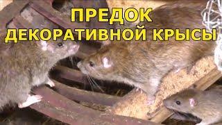 Предок декоративной крысы - Серая крыса