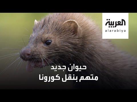 حيوان جديد متهم بنقل فيروس كورونا للبشر  - نشر قبل 12 ساعة