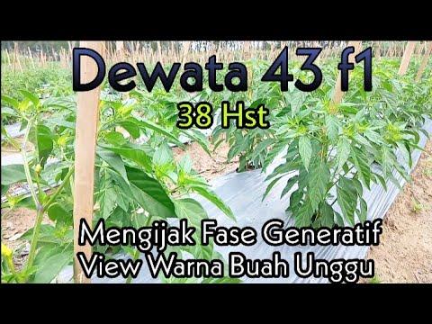Cabai Rawit Dewata 43 F1 Usia 38 Hst || Menginjak Fase Generatif || Warna Buah Ungu