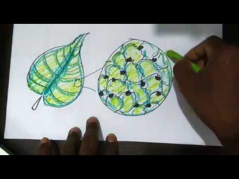 How To Draw Stomata Ncert Cbse Icse Class 3 Science Breathing Youtube