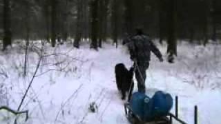 Собака учится тянуть санки