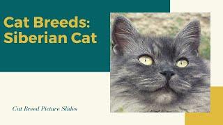 Siberian Slides  Cat Breeds