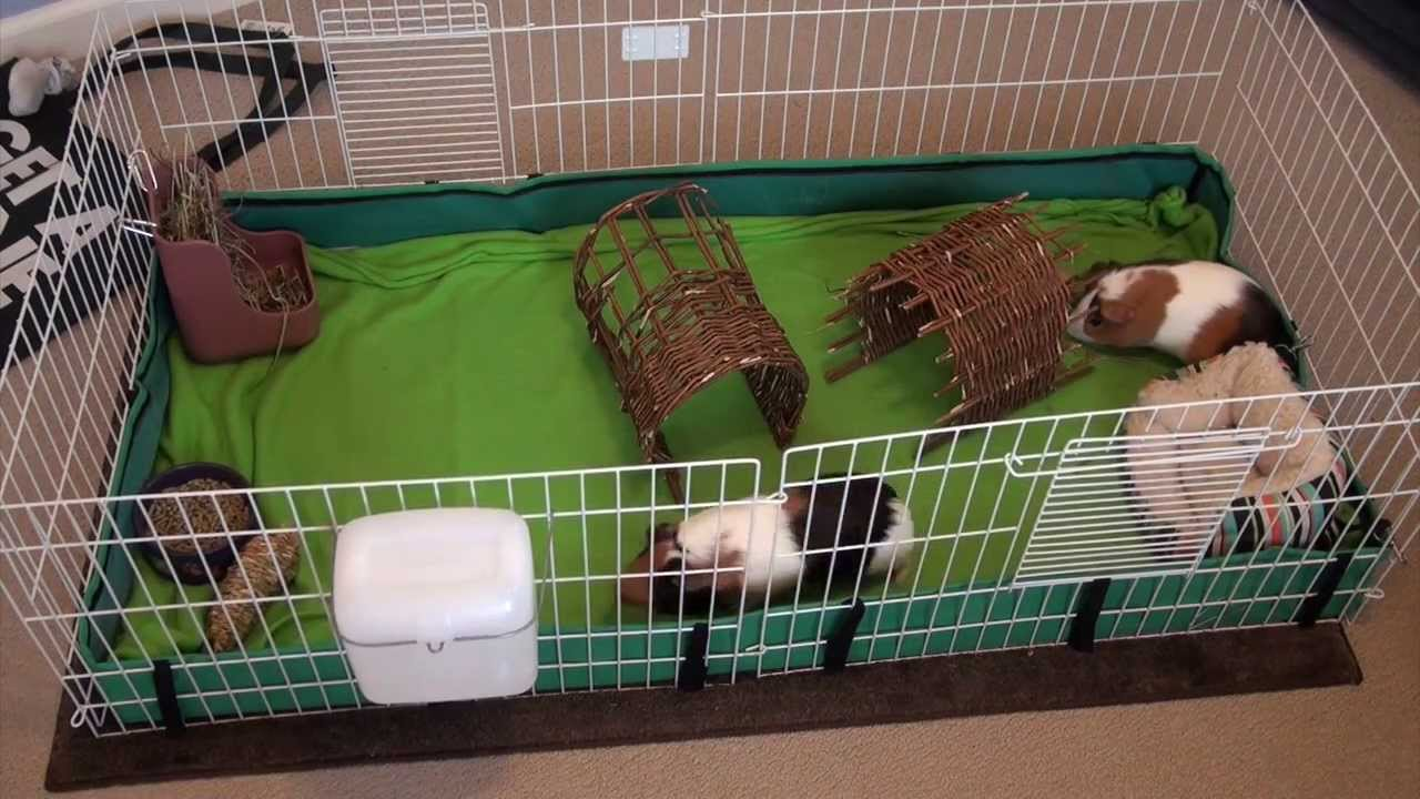 guinea pigs cage cleaning question