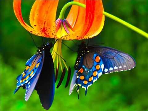 Bob Lind Elusive Butterfly