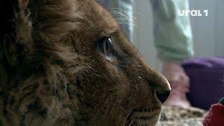 Львёнок Симба получил царский подарок на свой день рождения