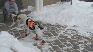 Hilarious!  Young English Cocker Spaniel Trying Out Her New Dog Boots.