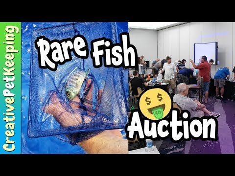 RARE FISH AUCTION  | Greater Chicago Cichlid Association