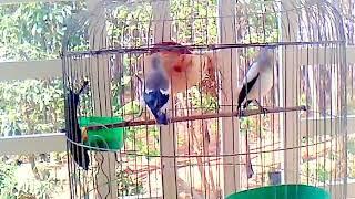 Chim Sáo Đá ( Tiếng hót của chim sáo đá )