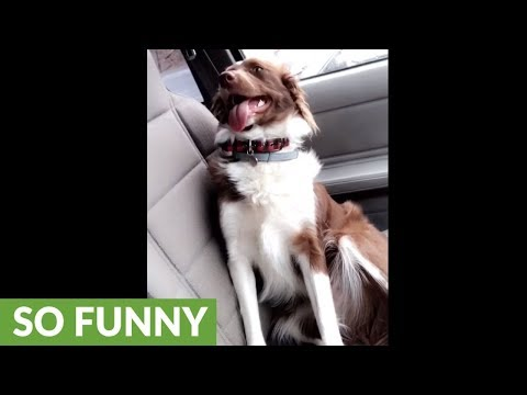 Guilty dog thinks owner is mad at her