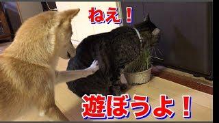 猫の食事中に、えぐい邪魔をする柴犬ハナ 猫はどうする? -- Shiba