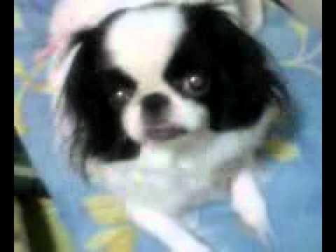 小型犬チンのまいちゃん 4 years ago 小型犬チンのまいちゃん 小型犬チンのまいちゃん.