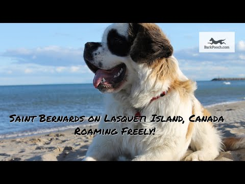 Saint Bernard Dogs Moving Freely On Lasqueti Island, Canada