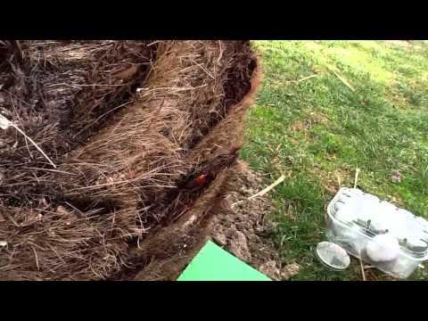 PUNTERUOLO ROSSO  (metodo Di Cura Acquaragia - Video N° 2).
