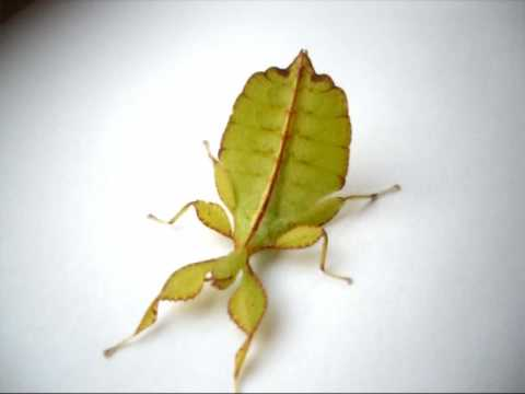 Leaf Insect Nymph Phyllium Sp Youtube