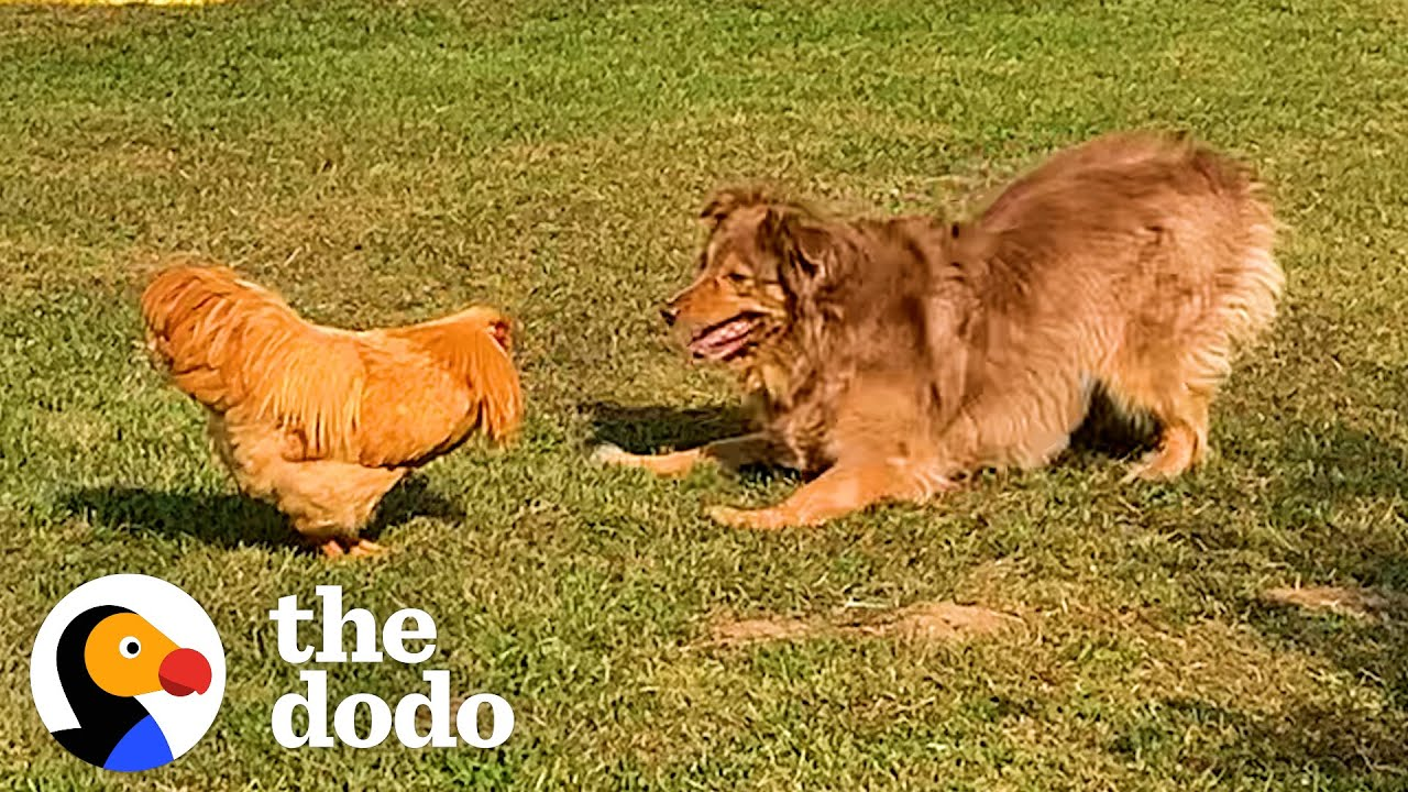 Rooster Loves Chasing This Big Dog    The Dodo Odd Couples