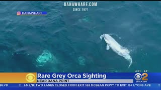 Rare Gray Baby Orca Spotted Frolicking Off Dana Point