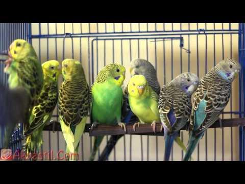 Попугаи.  Волнистые попугаи.