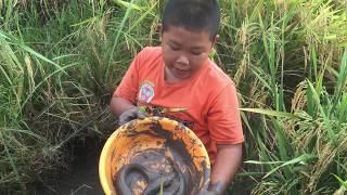 Bắt gặp cả ổ cá trên ruộng   | Ánh Dương Cuộc Sống Miền Tây