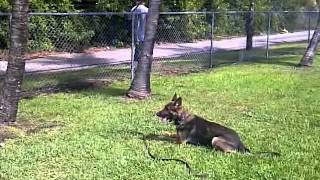Police Dog Training, Miami K9 Enforcement German Shepherd