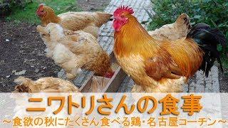 """2017年9月下旬のこと。 名古屋コーチンの雄鶏""""ぴよ助""""、雌鶏の長老""""ぴよ..."""