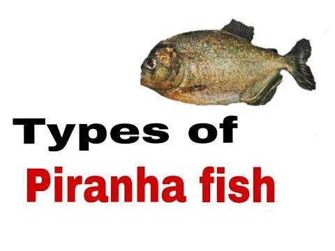 Types Of Piranha Fish 🐟