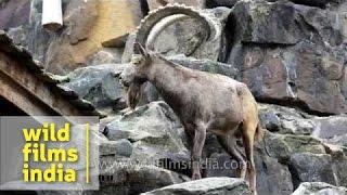 European Ibex taking a pee