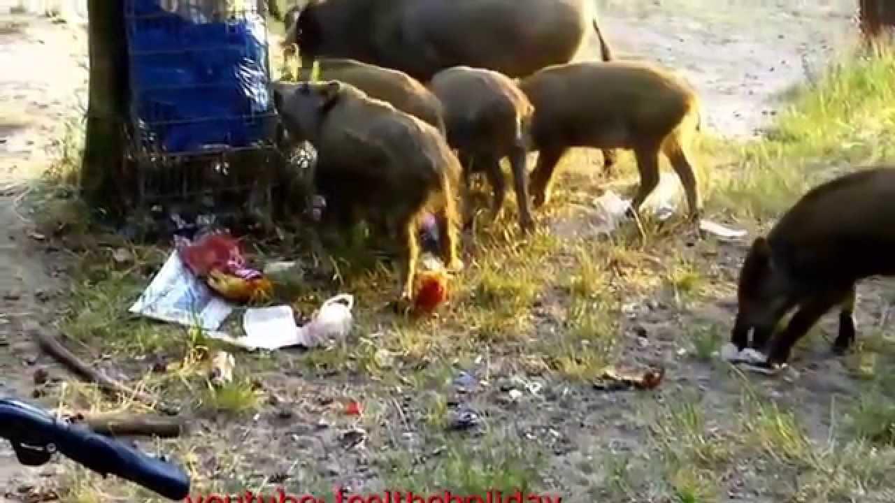 Pigs in berlin