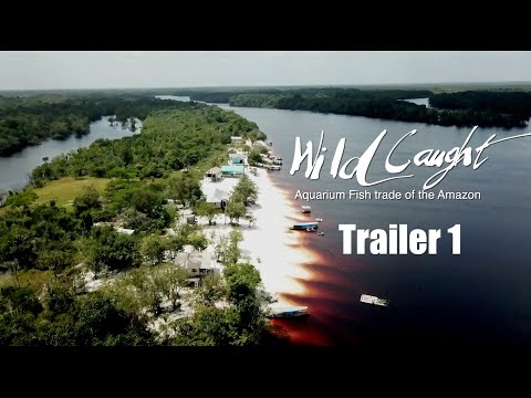 TRAILER 1: WILD CAUGHT : Aquarium Fish trade of the Amazon