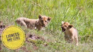 Injured Lioness and Her cubs