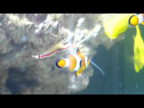 Clownfish Healthy Again After Open Jaw.