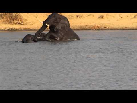 Elephants Swimming and Mating in Water