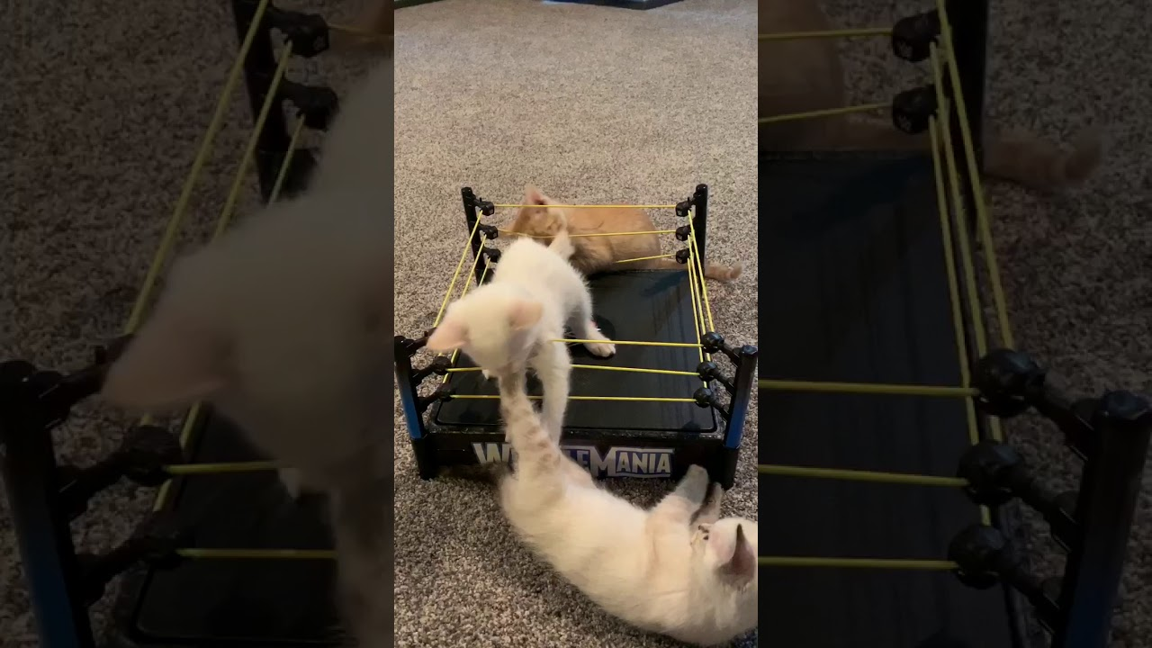 Kittens and a $2 WrestleMania, thrift store find! - YouTube