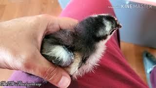 2 Week Old Black Australorp Chicks