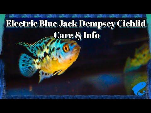 Electric Blue Jack Dempsey Cichlid Care & Information - Rocio Octofasciata