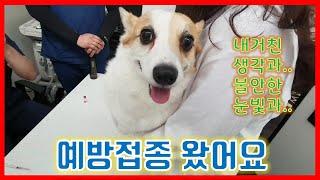 [크리TV]웰시코기 강아지 크리의 예방접종