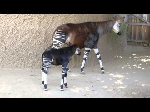 Baby Okapi Shows Off Stripes at San Diego Zoo Safari Park