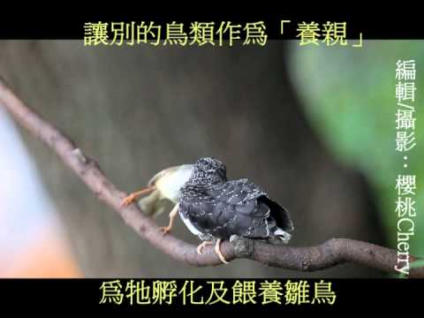 中杜鵑托卵,灰頭鷦鶯忙育雛Cuculus saturatus